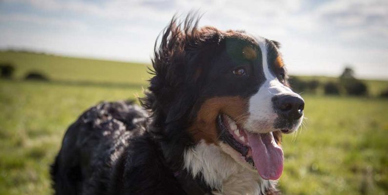 Dog Playing In The Field - CBD For Pets - How To Treat Anxiety In Dogs