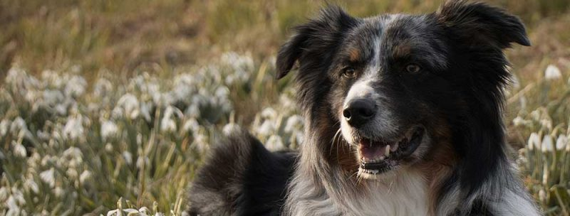 Shepherd Dog - CBD For Pets - How To Treat Anxiety In Dogs